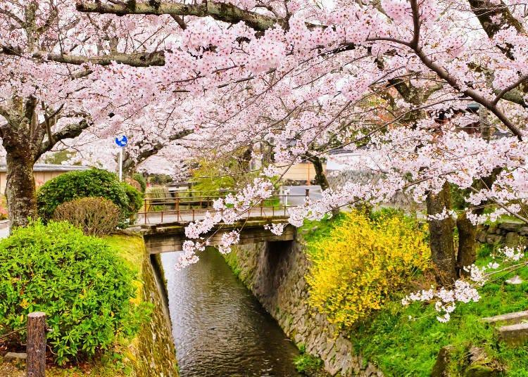 10. The Philosopher's Path: Hitome Senbon Yamazakura that paint the World Heritage site