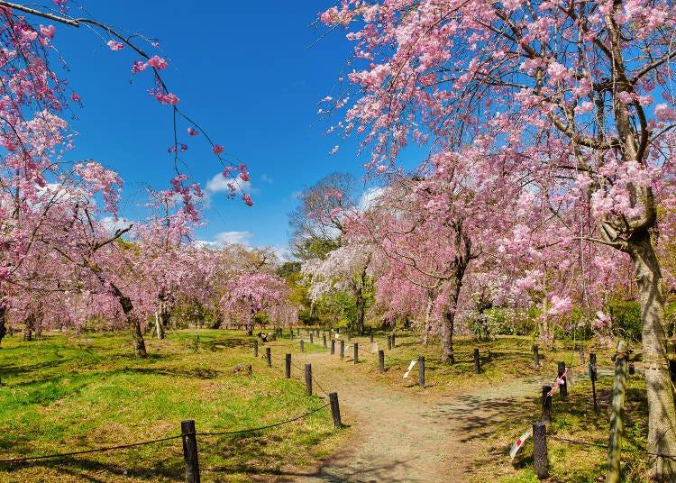 8.160種類の桜を観賞できる特別なスポット【京都府立植物園】
