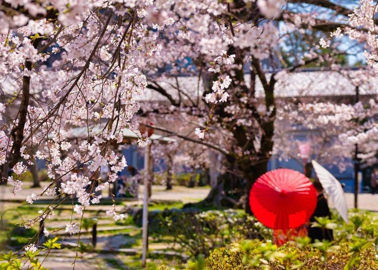 3. 교토 제일의 '기온의 밤벚꽃'을 즐기려면 '마루야마 공원'