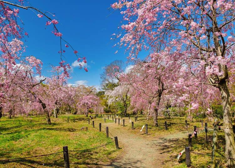 8. 160종의 벚꽃을 감상할 수 있는 특별한 장소 '교토부립식물원'