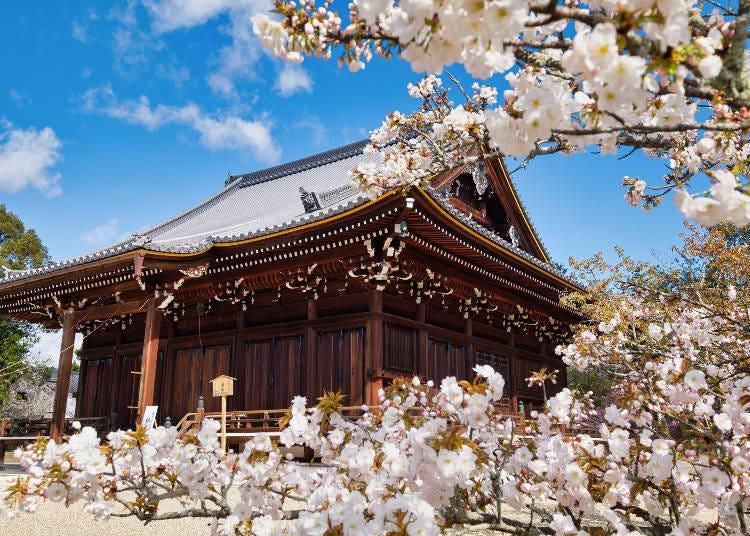 2. 就在眼睛高度盛开,值得一看的晚开樱花御室樱「仁和寺」