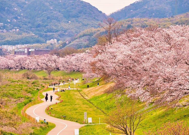 1. 將堤防染成一片粉紅的櫻花隧道「淀川河川公園背割堤地區的櫻花」