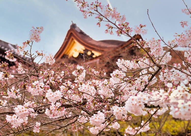7. 從「清水舞台」欣賞彷彿是雲海般的櫻花「清水寺」