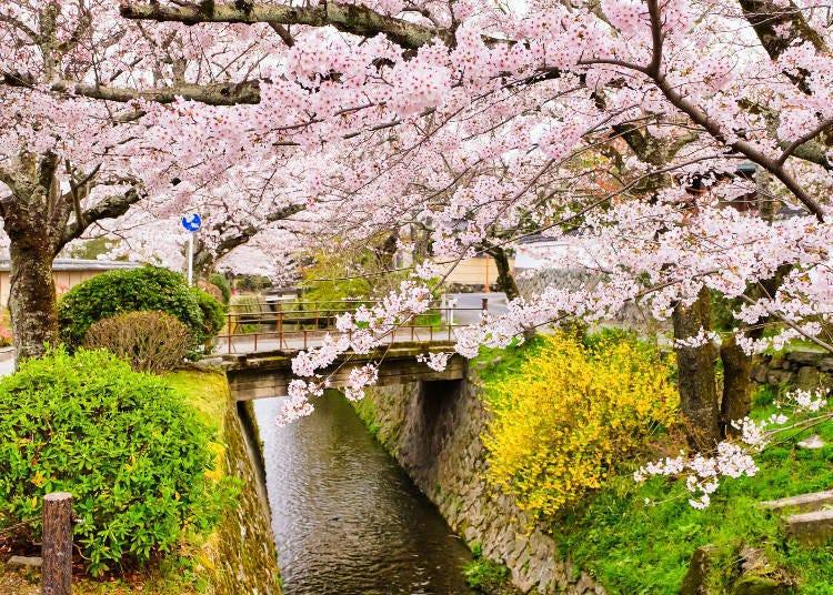 10. 世界遺產的山都被染成一片粉紅「一目千本」山櫻「哲學之道」