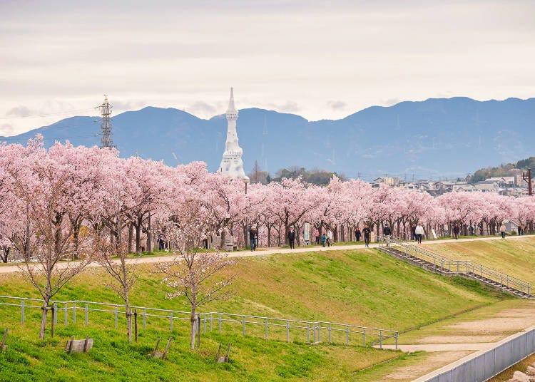 8.大阪で一番早い桜【狭山池公園】