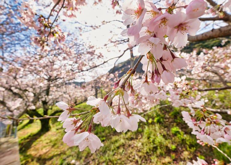10.川辺を彩る1000本の桜並木【山中渓】