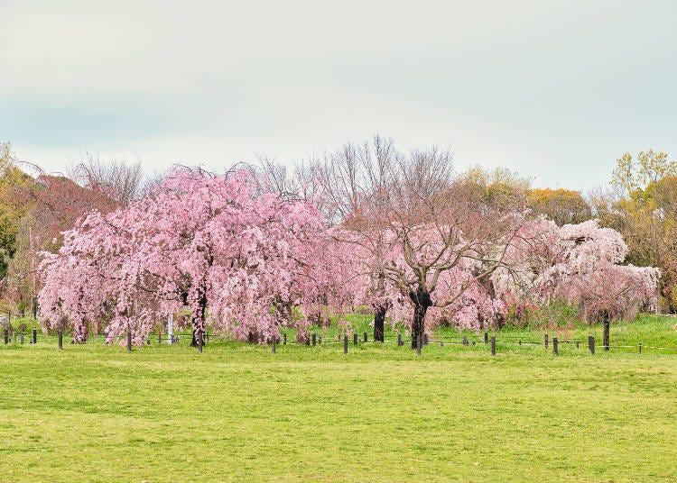 7. 역사공원을 곱게 물들인 개성 넘치는 벚꽃 '다이센 공원'
