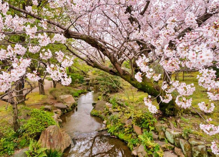 6. 極樂淨土添加繽紛色彩的櫻花「和宗總本山 四天王寺」