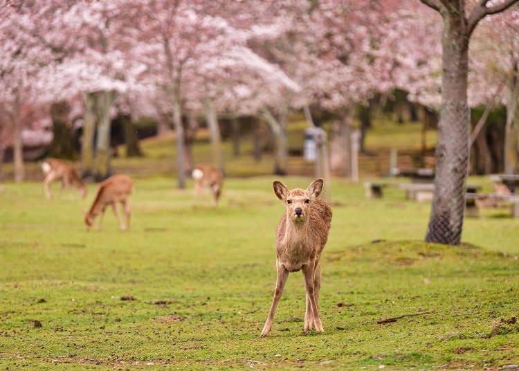 1. Nara Park: Encounter deer relaxing under the cherry blossoms