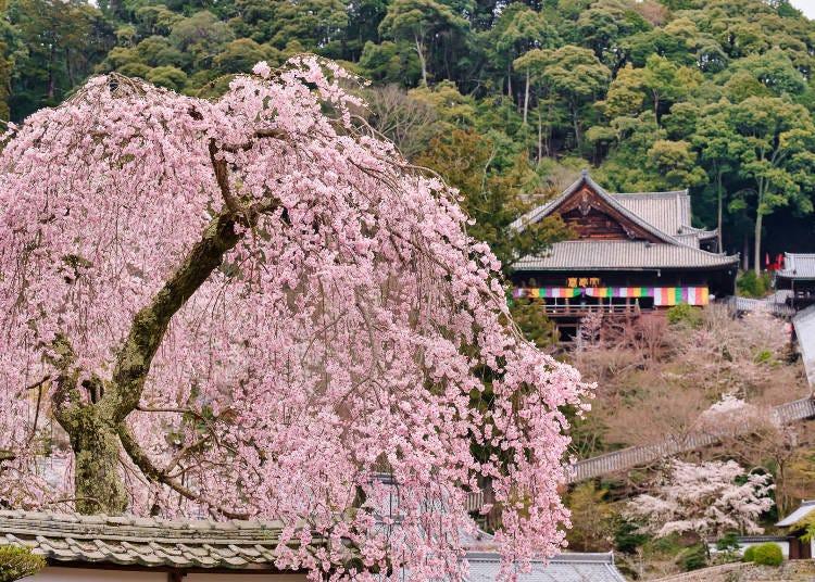 6. Buzan Kagurain Hasedera: The Flower Temple that heals the heart