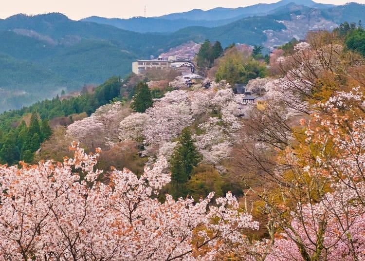 "9. Yoshinoyama / Shimosenbon: ""Ichimoku Senbon"" Yamazakura that cover the world heritage mountain"