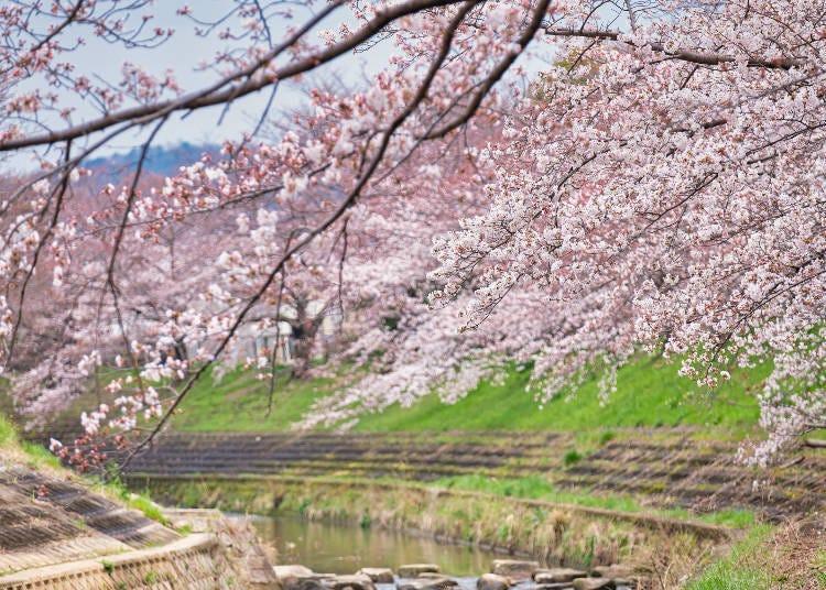 2. 명수령님과 인연이 깊은 벚꽃 가로수 '사호 강 하천부지'