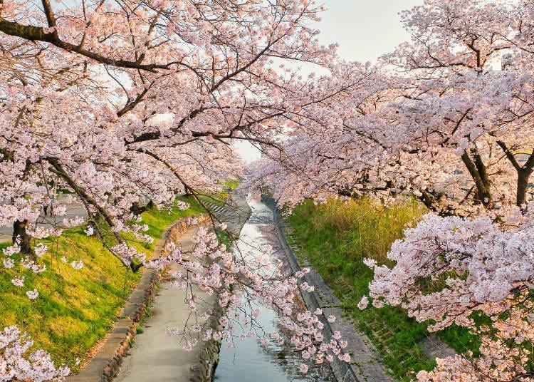 4. 벚꽃명소 랭킹의 단골손님 '다카다 센본자쿠라'