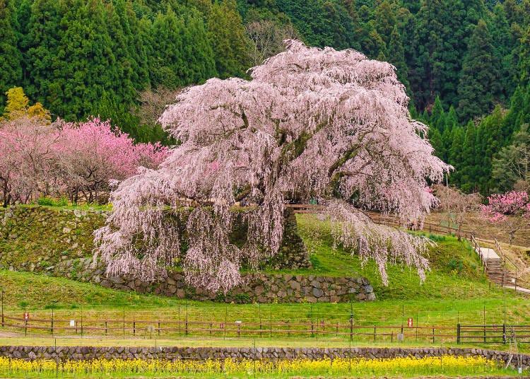 8. 전국시대 장수를 연상시키는 잇폰자쿠라 '혼고의 마타베자쿠라'