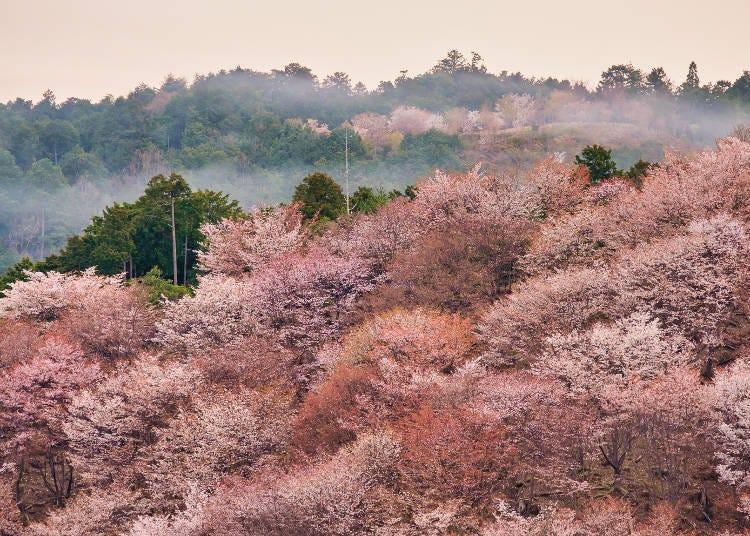 10. 기적의 절경! 일본 굴지의 벚꽃명소 '요시노 산・나카센본'