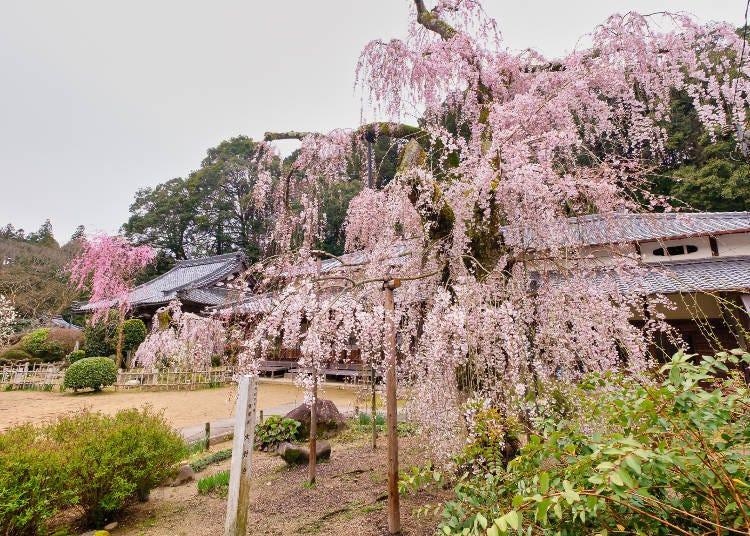 7. 樹齡超過300年的兩棵古木【大野寺的小糸枝垂櫻】