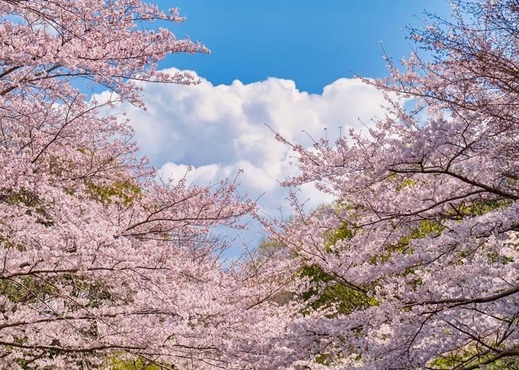3. Sogoundokoen Park: Go through a tunnel of cherry blossoms and enjoy the spring!