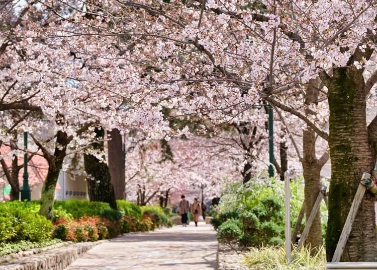 6. Takarazuka Hana-no-Michi: Cherry blossom path leading to the Takarazuka stage