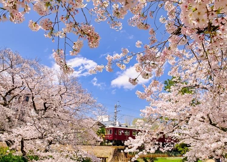 7. Shukugawa Park: Beautiful combination of cherry blossoms and pine trees