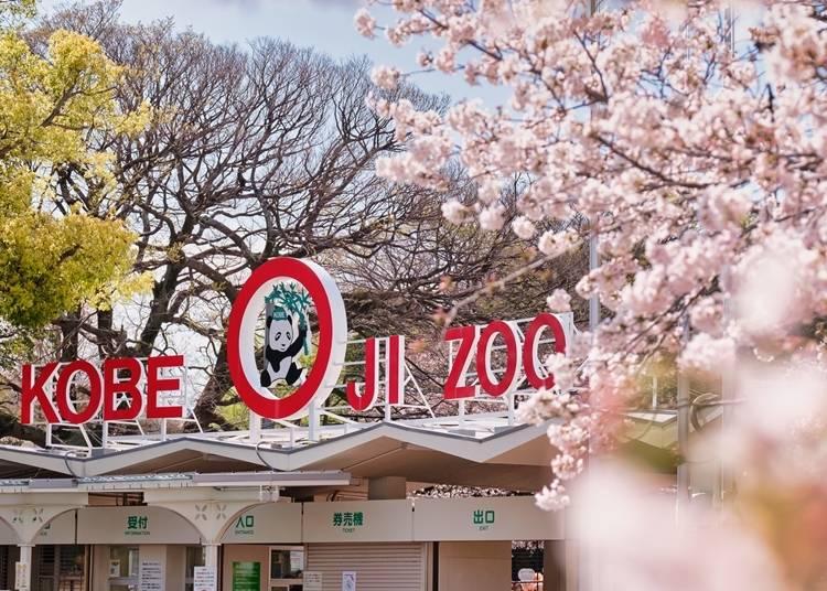2. 動物と満開の桜、どちらも楽しむならここ【神戸市立王子動物園】