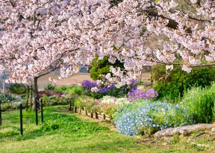 8. 広大な敷地内を彩る1,000本の桜!【日岡山公園】