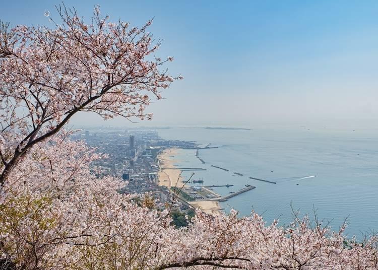 【須磨浦公園】瀨戶內海與盛開櫻花的全景