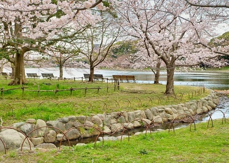 【明石公園】有1400顆櫻花大道,為明石城古蹟添上優美顏色