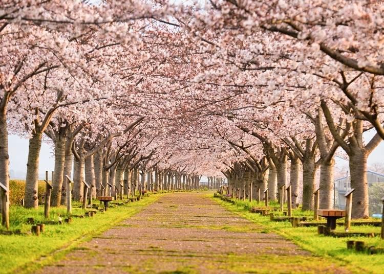 【小野櫻花堤防迴廊】沿著整條河流開滿櫻花的大道