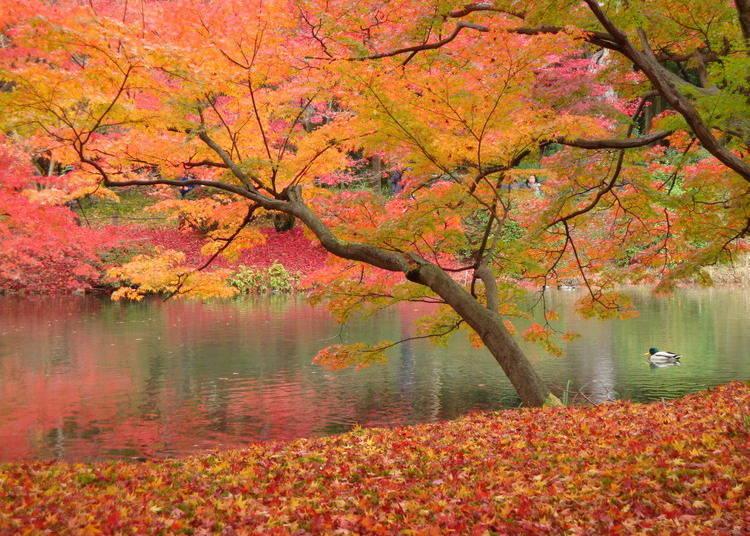 京都赏枫景点⑨点亮世界中的树木,展现另类魅力「京都府立植物园」