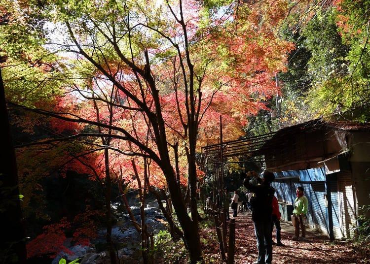 大阪賞楓景點⑦楓紅佈滿天「攝津峽公園」