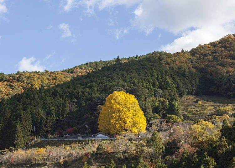 和歌山紅葉景點⑥國道上引人注目的「福定大銀杏」