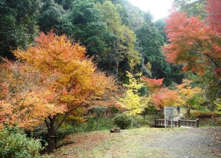 和歌山紅葉景點⑨絕美楓葉山谷中、享受森林浴「大瀧川森林公園」