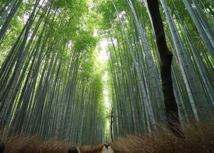 아라시야마 대나무숲(죽림)의 개요