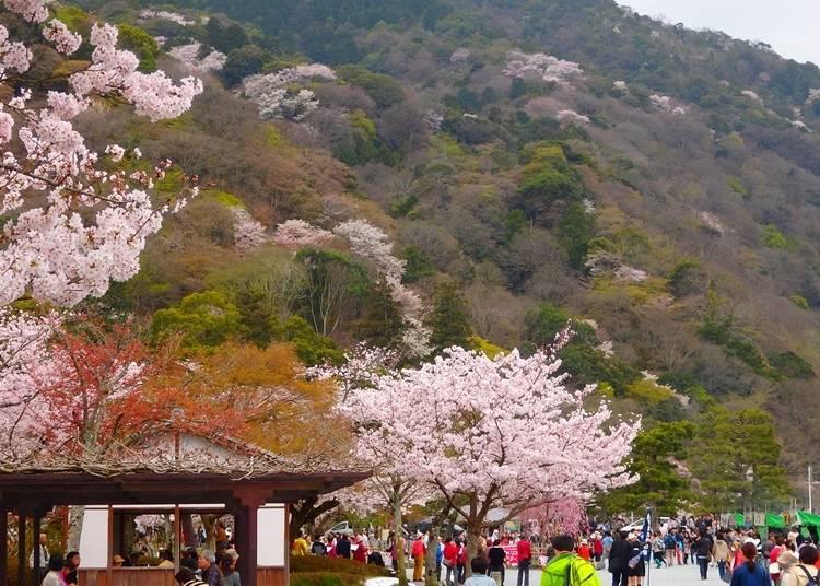 嵐山・渡月橋付近でのんびりとお花見
