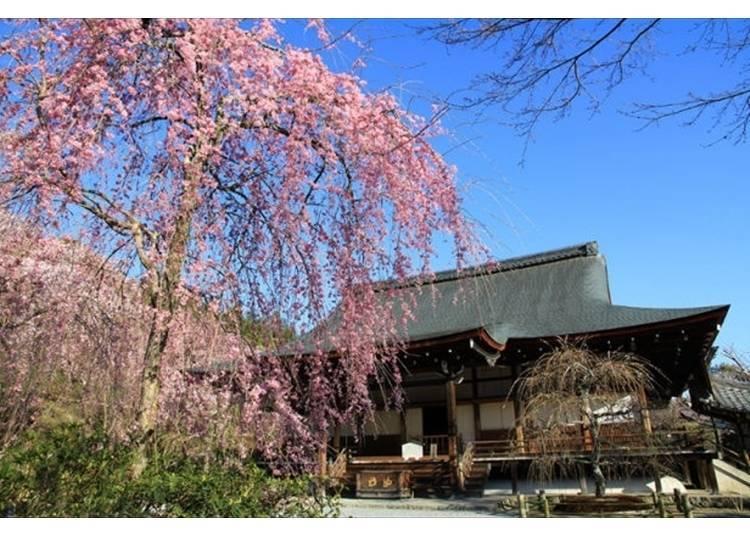 풍광이 수려한 벚꽃명소 '덴류지'와 엎어지면 코 닿을 곳!