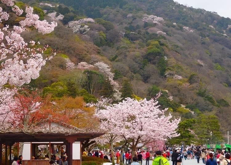 아라시야마・도게쓰교 부근에서 여유롭게 꽃놀이