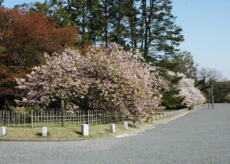 공원 내 다양한 장소에서 갖가지 벚꽃이 피어나는 '교토 교엔'