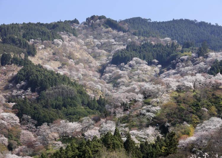 일본 최고의 벚꽃명소 요시노 산 내에 있는 온천료칸 '다이코반 카무카무'