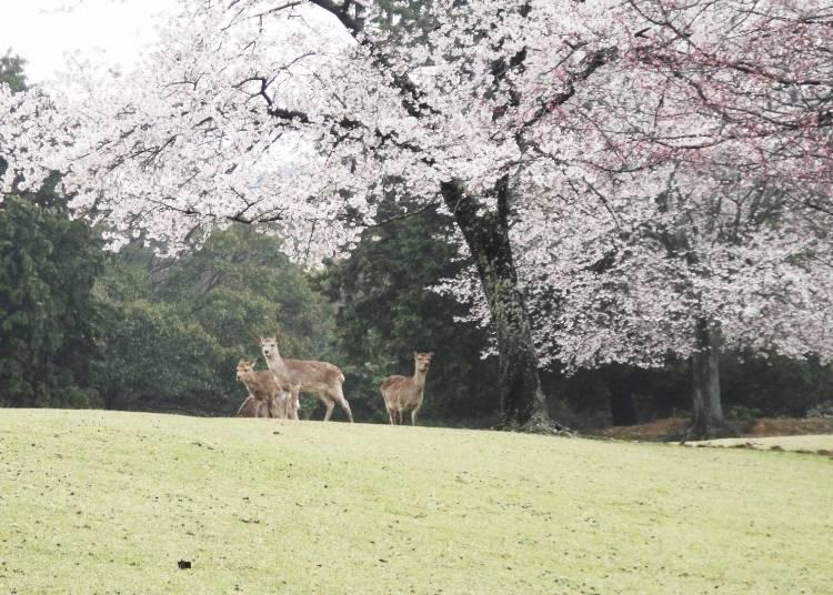 사슴들의 머리 위를 핑크빛 벚꽃이 뒤덮는 나라 공원과 인접한 'Hotel 네이라쿠(寧楽)'