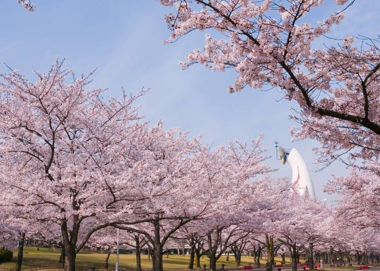 1. Expo '70 Commemorative Park Cherry Blossom Festival