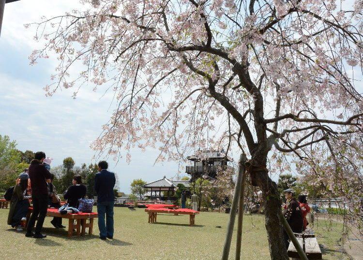 6. 이케다 사쓰키야마 벚꽃축제 ※2021년 취소