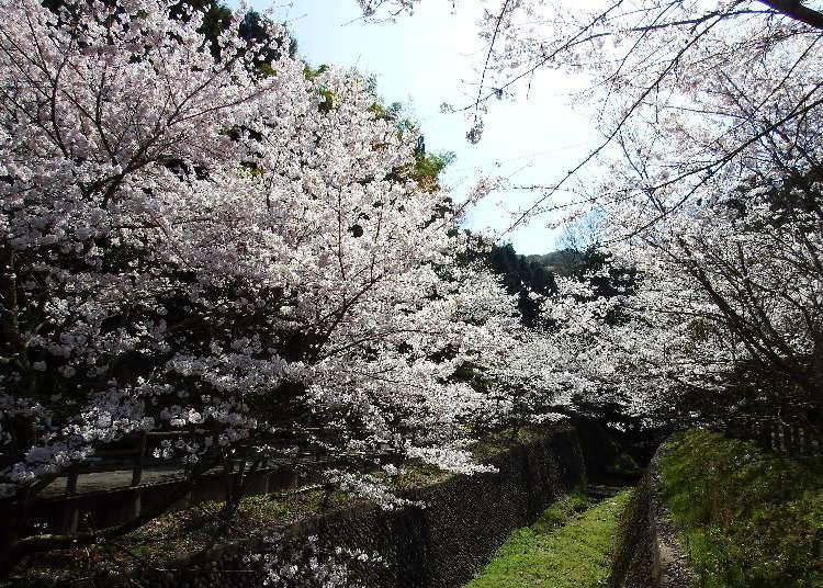 7. 하나카이도 야마나카다니 벚꽃축제 ※2021년 취소