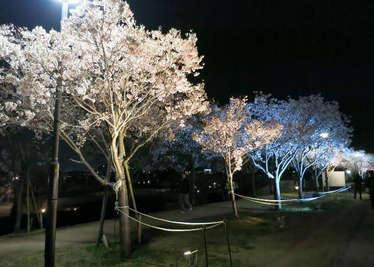 8. 사야마이케 벚꽃축제 ※2021년 취소