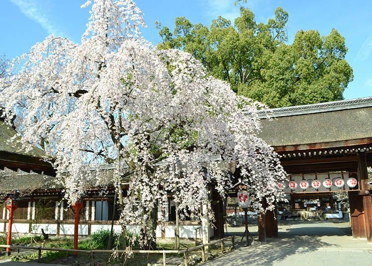 7. 平野神社 桜花祭 ※2021年祭典行列中止