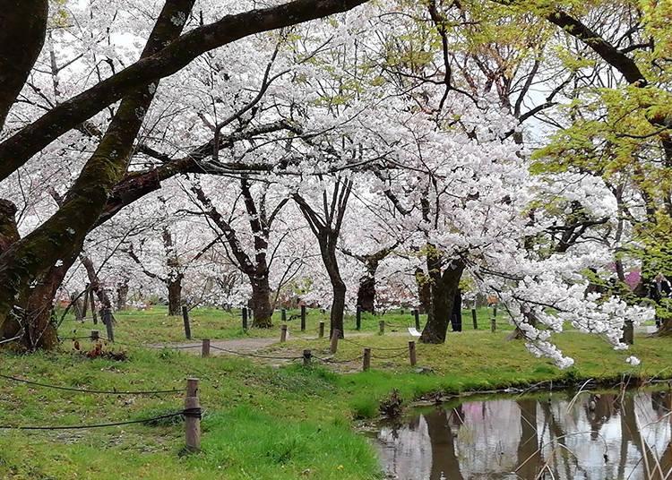 6. 교토부립식물원 벚꽃 라이트업 ※2021년 취소
