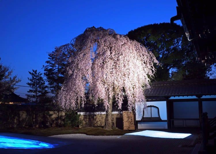 高台寺 春天的夜間特別參拜