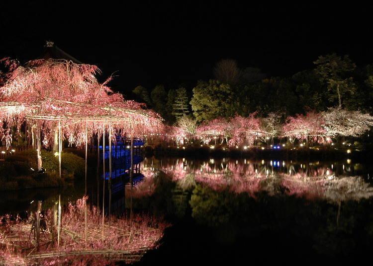 平安神宮 紅枝垂櫻音樂會 ※2021年暫停舉辦