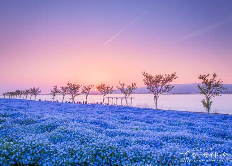 2. Osaka Maishima Seaside Park - A Sea of Platinum Blue Flowers! (Osaka)