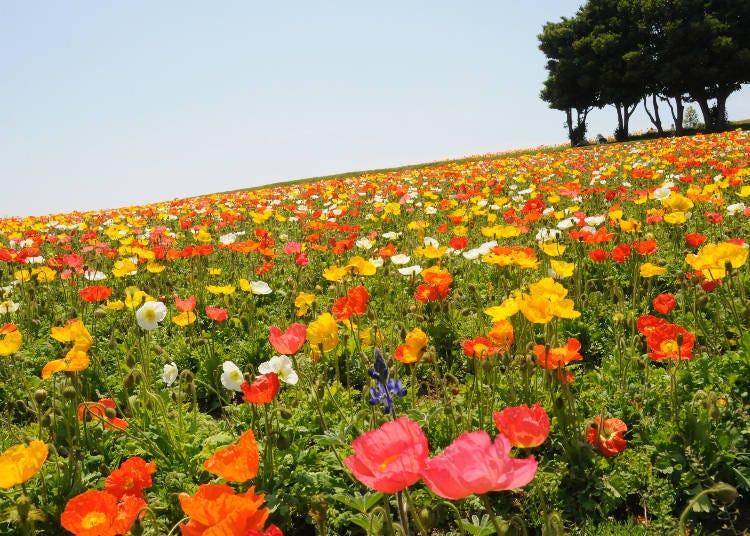1: 色とりどりのポピーが美しい「兵庫県立公園あわじ花さじき」※2021年4月25日(日)から5月11日(火)まで臨時休園