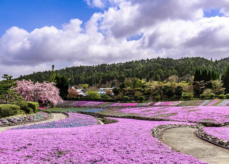 4: この美しさは必見! 1億輪の絶景「芝桜園 花のじゅうたん」(兵庫県)